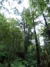 Kahikatea Bäume