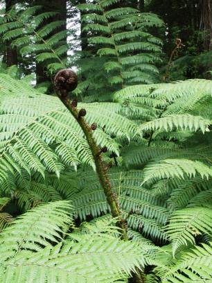 Farn im Redwood Forest