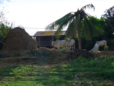 Entlang des Ufers wird auch Vieh gehalten