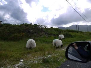 Achtung: Schafe haben immer Vorfahrt!