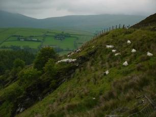 Wohin wollt ihr denn, Schafe?