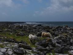 Wilde Ponys am Wild Atlantic Way.