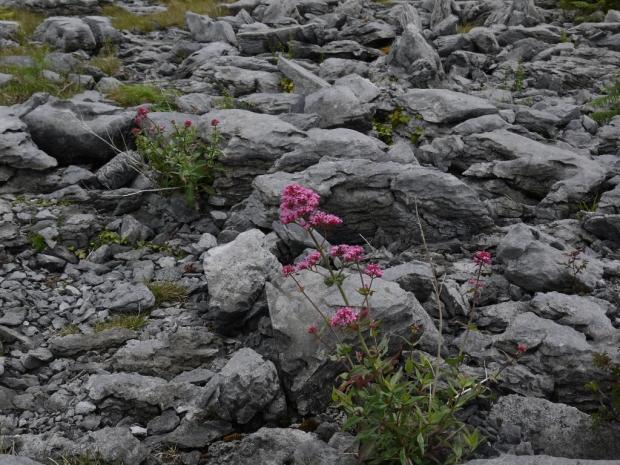 Burren_Flower
