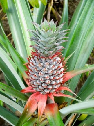 Eine kleine Ananas unter vielen.
