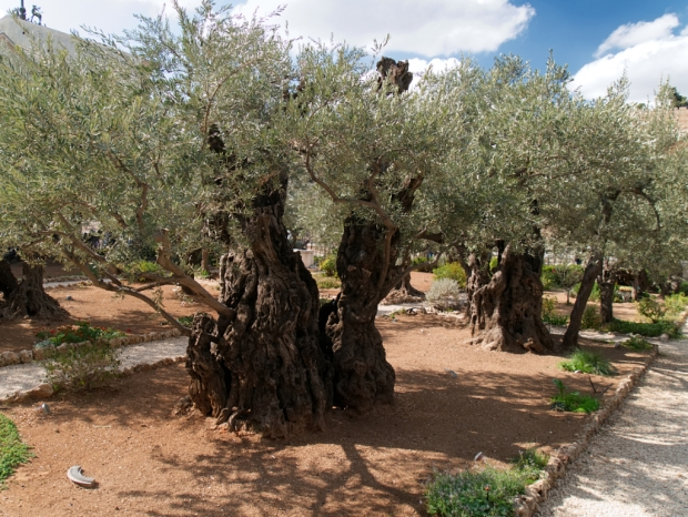 Jerusalem_Getsemaneh