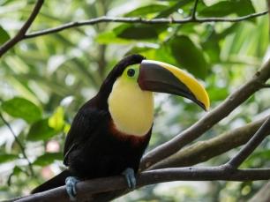 Der Tukan ist in Costa Rica gar nicht mal so selten.
