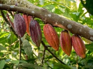 Die Kakaofrüchte haben je nach Reife unterschiedliche Färbungen.